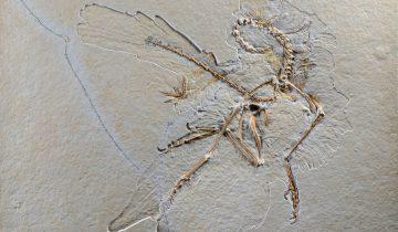 Archaeopteryx Nr.11