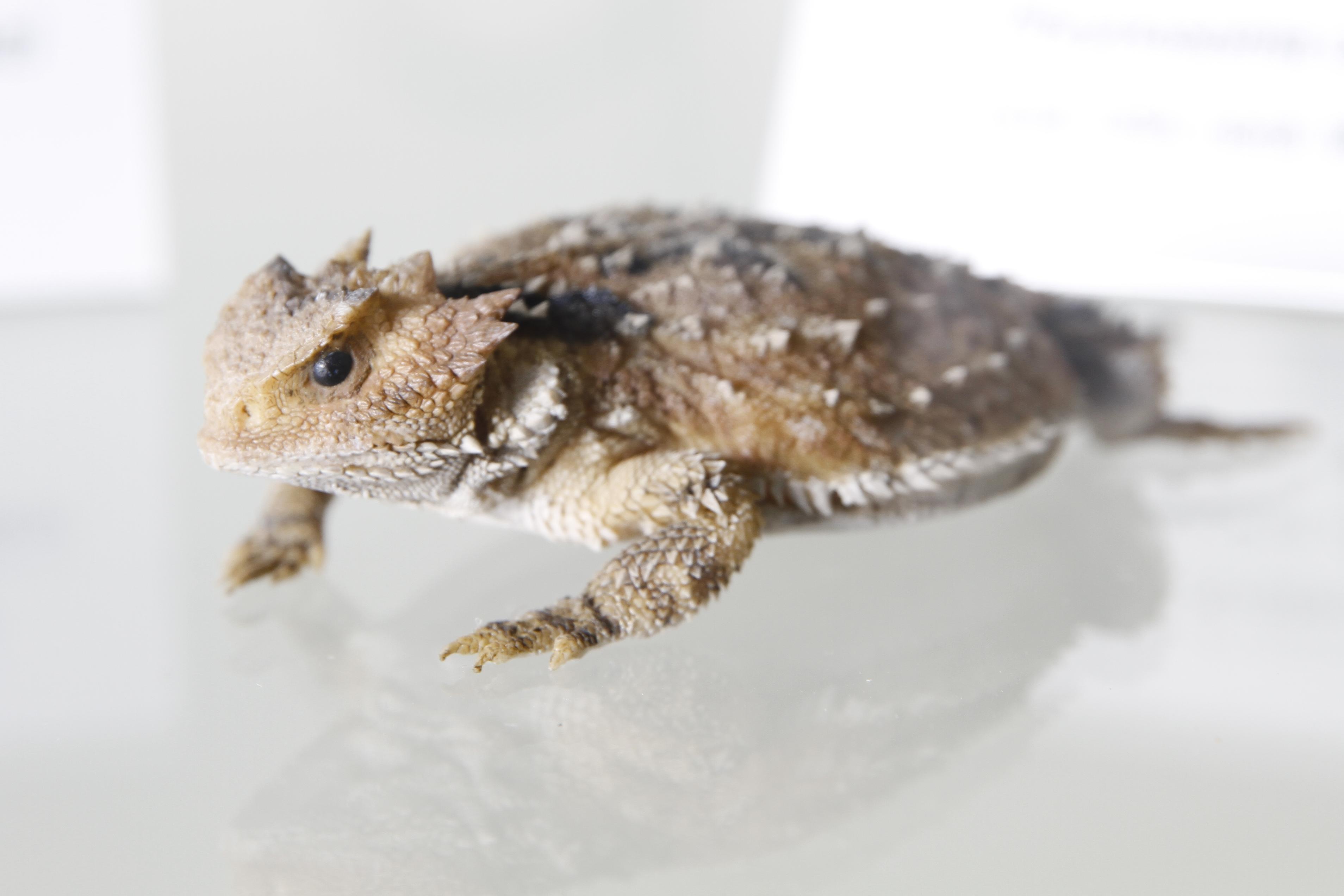 Patenschaft Texas-Krötenechse