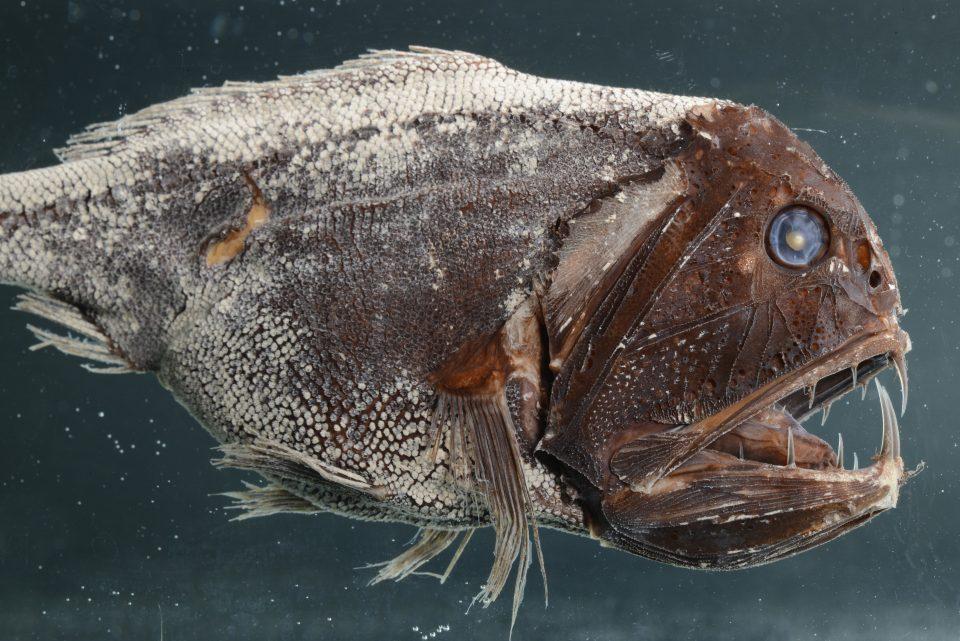 Fangzahn Anoplogaster cornuta
