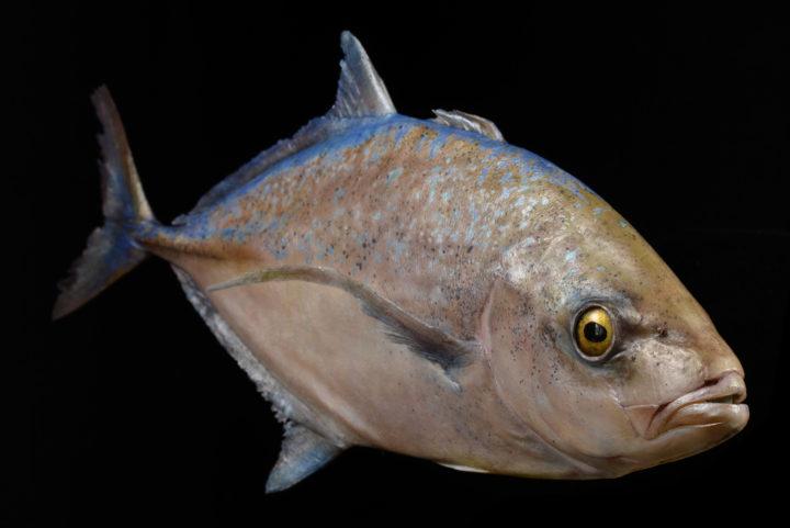 Blauflossen-Makrele Caranx melampygus 3 c