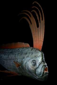 Riemenfisch Regalecus glesne