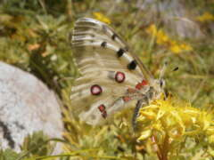 Gebirgs-Schmetterlinge